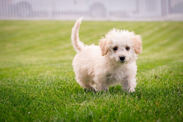 Puppy on Synthetic Turf
